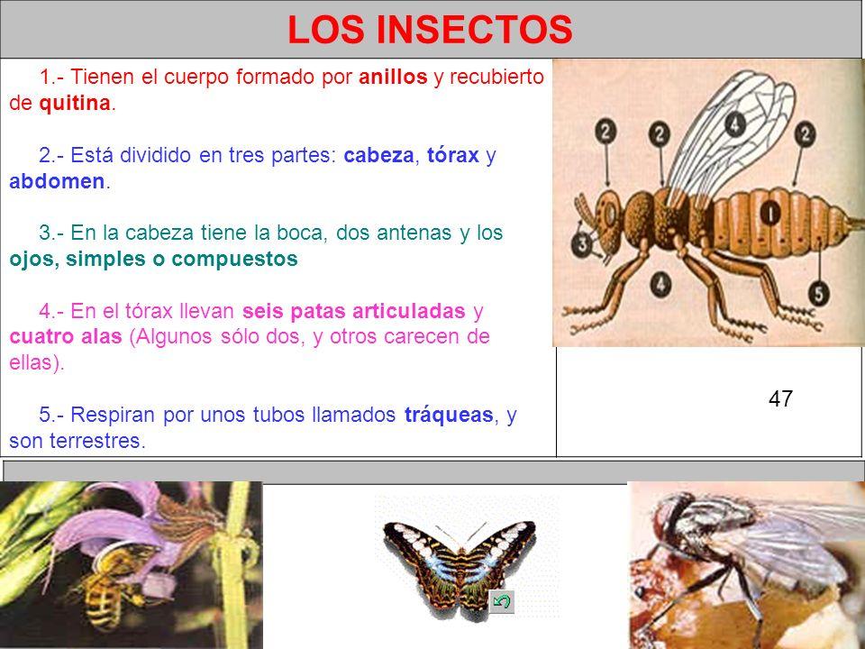 LOS INSECTOS 1.- Tienen el cuerpo formado por anillos y recubierto de quitina.