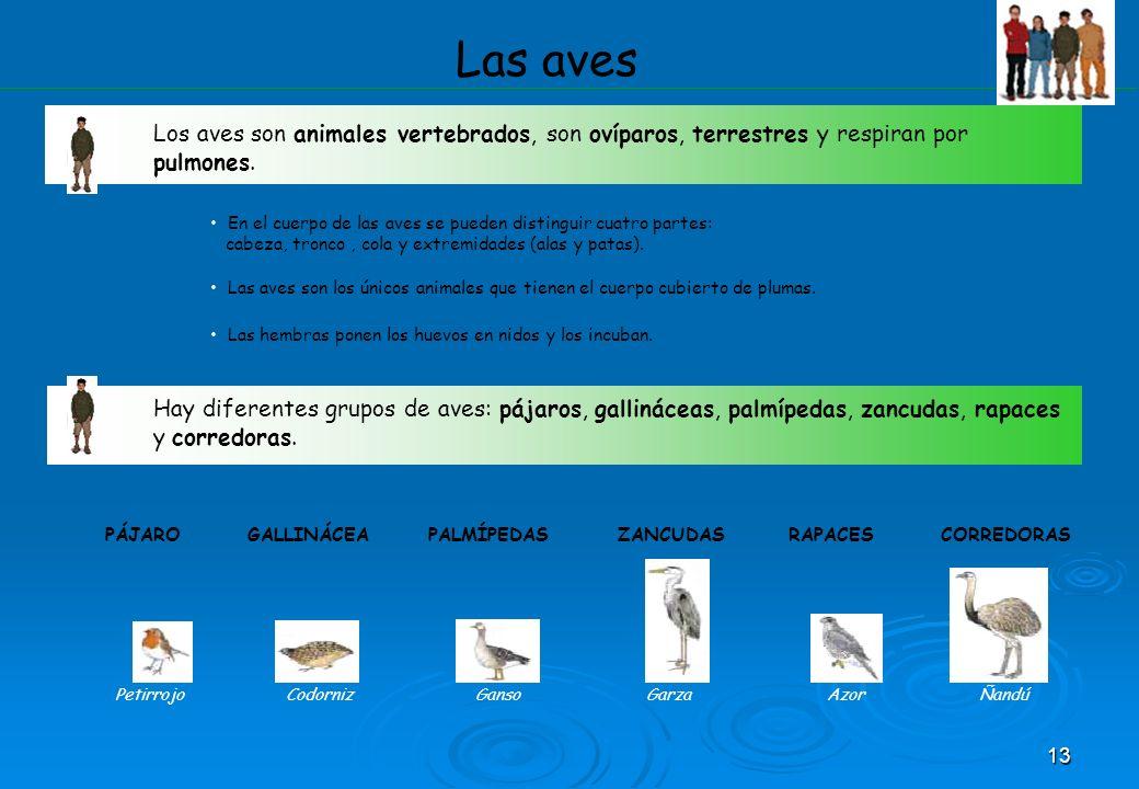 13 Las aves Los aves son animales vertebrados, son ovíparos, terrestres y respiran por pulmones. En el cuerpo de las aves se pueden distinguir cuatro