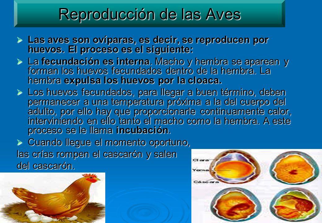 18 Reproducción de las Aves Las aves son ovíparas, es decir, se reproducen por huevos. El proceso es el siguiente: Las aves son ovíparas, es decir, se