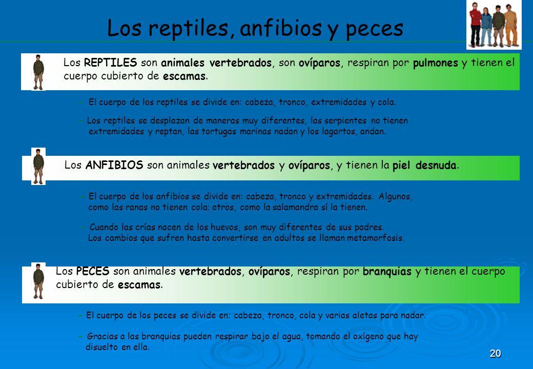 20 Los reptiles, anfibios y peces Los REPTILES son animales vertebrados, son ovíparos, respiran por pulmones y tienen el cuerpo cubierto de escamas. -