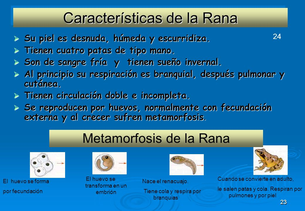 23 Características de la Rana Su piel es desnuda, húmeda y escurridiza. Su piel es desnuda, húmeda y escurridiza. Tienen cuatro patas de tipo mano. Ti