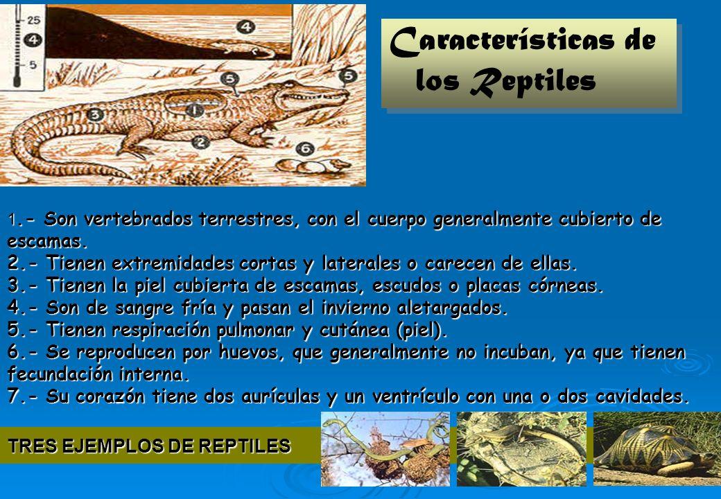 25 1.- Son vertebrados terrestres, con el cuerpo generalmente cubierto de escamas. 2.- Tienen extremidades cortas y laterales o carecen de ellas. 3.-