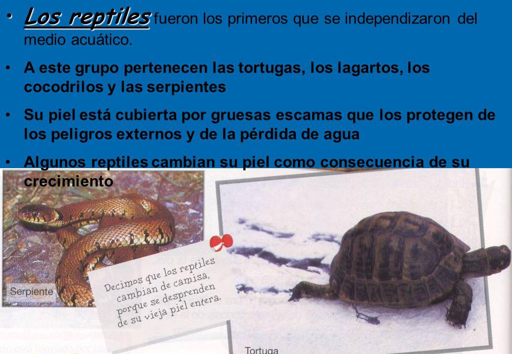 26 Los reptilesLos reptiles fueron los primeros que se independizaron del medio acuático. A este grupo pertenecen las tortugas, los lagartos, los coco
