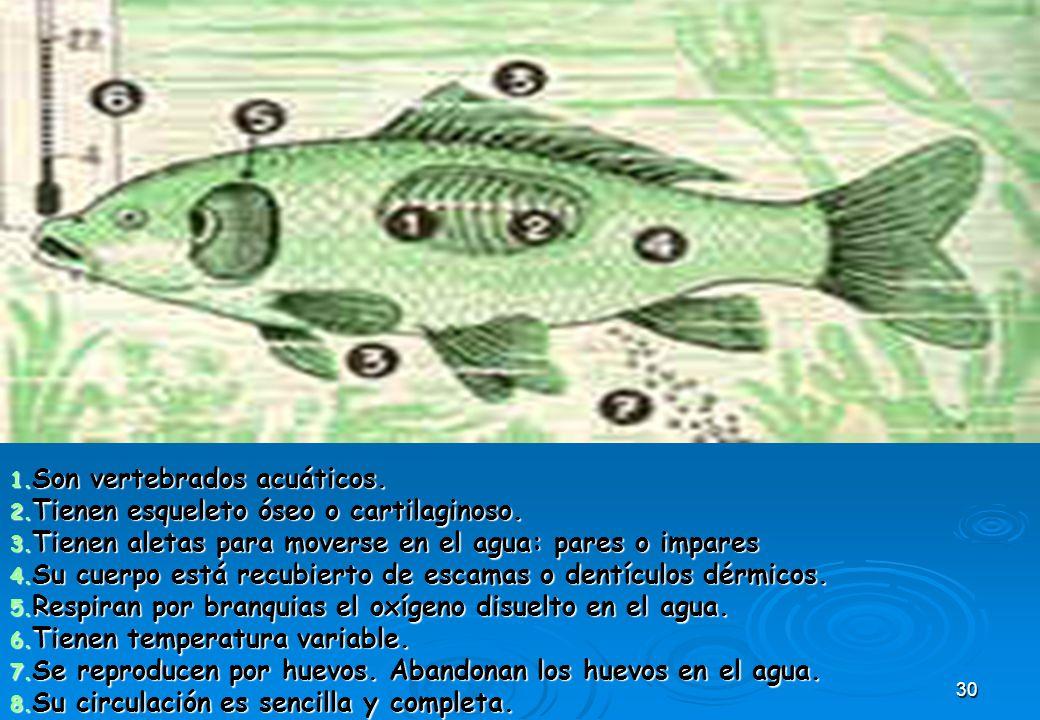 30 1. Son vertebrados acuáticos. 2. Tienen esqueleto óseo o cartilaginoso. 3. Tienen aletas para moverse en el agua: pares o impares 4. Su cuerpo está