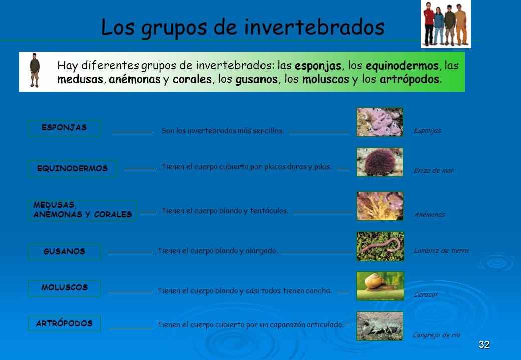 32 Los grupos de invertebrados Hay diferentes grupos de invertebrados: las esponjas, los equinodermos, las medusas, anémonas y corales, los gusanos, l