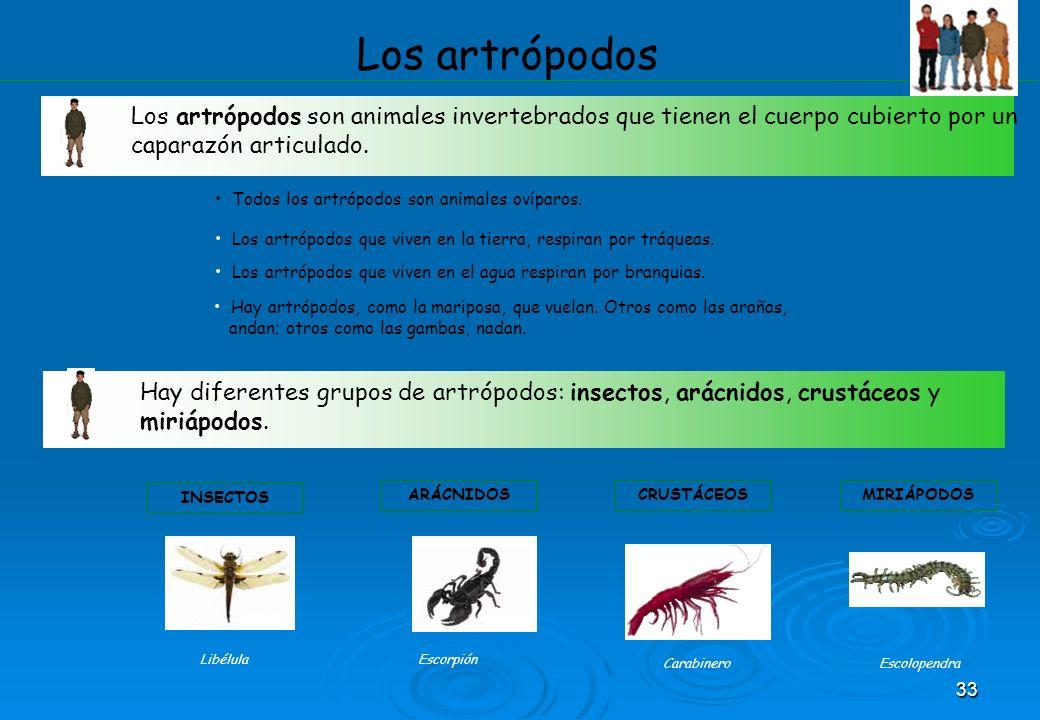 33 Los artrópodos Los artrópodos son animales invertebrados que tienen el cuerpo cubierto por un caparazón articulado. Todos los artrópodos son animal