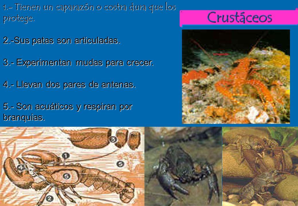 35 CrustáceosCrustáceos 1.- Tienen un caparazón o costra dura que los protege. 2.-Sus patas son articuladas. 3.- Experimentan mudas para crecer. 4.- L