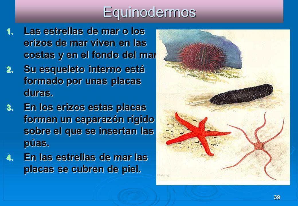 39Equinodermos 1. Las estrellas de mar o los erizos de mar viven en las costas y en el fondo del mar. 2. Su esqueleto interno está formado por unas pl