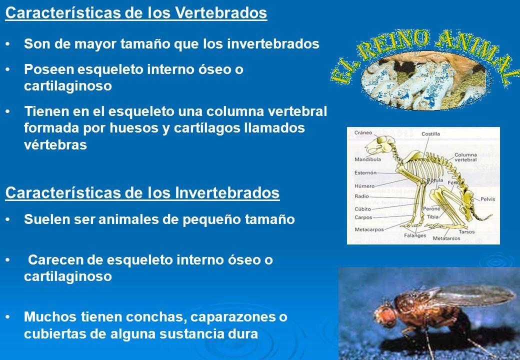 5 Son de mayor tamaño que los invertebrados Poseen esqueleto interno óseo o cartilaginoso Tienen en el esqueleto una columna vertebral formada por hue