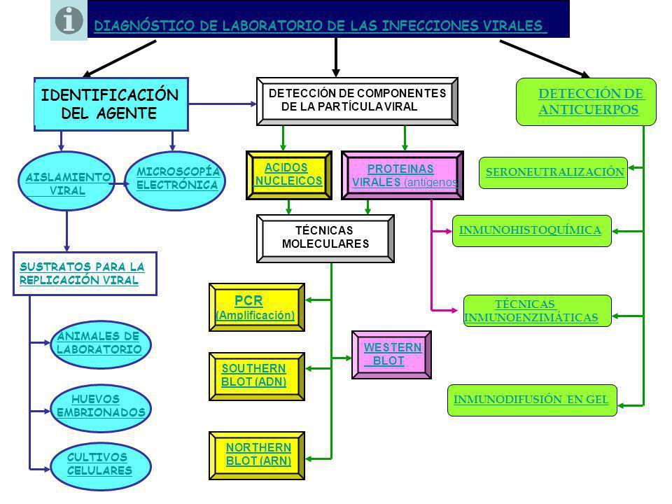 ANIMALES DE LABORATORIO HUEVOS EMBRIONADOS http://www.scribd.com/doc/6851738/Virologia-Practica-05-Inoculacion-de-virus-en-huevos-embrionados http://books.google.com.ar/books?id=Nlego0fDRUQC&pg=PA586&lpg=PA586&dq=huevos+embrionados CULTIVOS CELULARES AISLAMIENTO VIRAL SUSTRATOS PARA EL CULTIVO DE VIRUS http://www.ub.es/biocel/wbc/tecnicas/cap1.htm http://books.google.com.ar/books?id=tvCKhsPLZIcC&pg=PA97&lpg=PA97&dq=animales+de+laboratorio+virologia&source=bl&ots