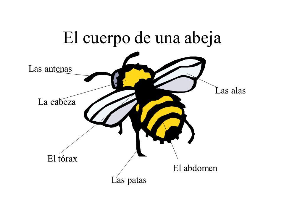 El cuerpo de una abeja Las alas La cabeza El tórax El abdomen Las antenas Las patas