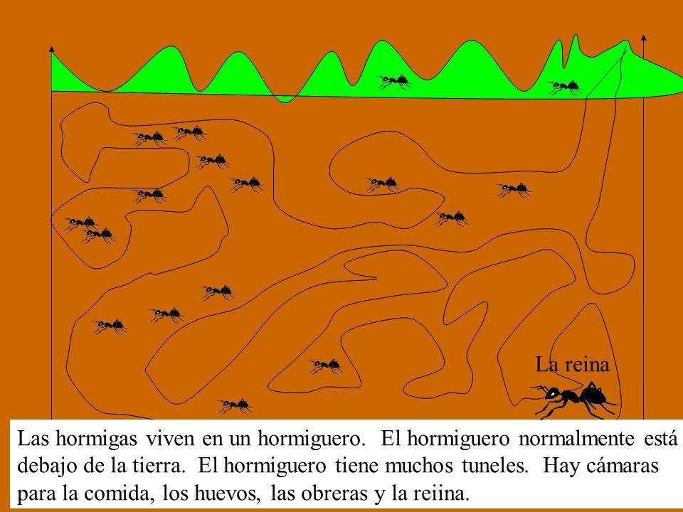 Las hormigas viven en un hormiguero. El hormiguero normalmente está debajo de la tierra. El hormiguero tiene muchos tuneles. Hay cámaras para la comid