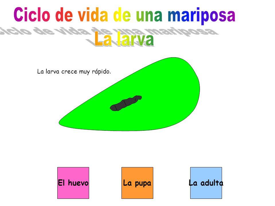 La larva crece muy rápido. La pupaEl huevoLa adulta