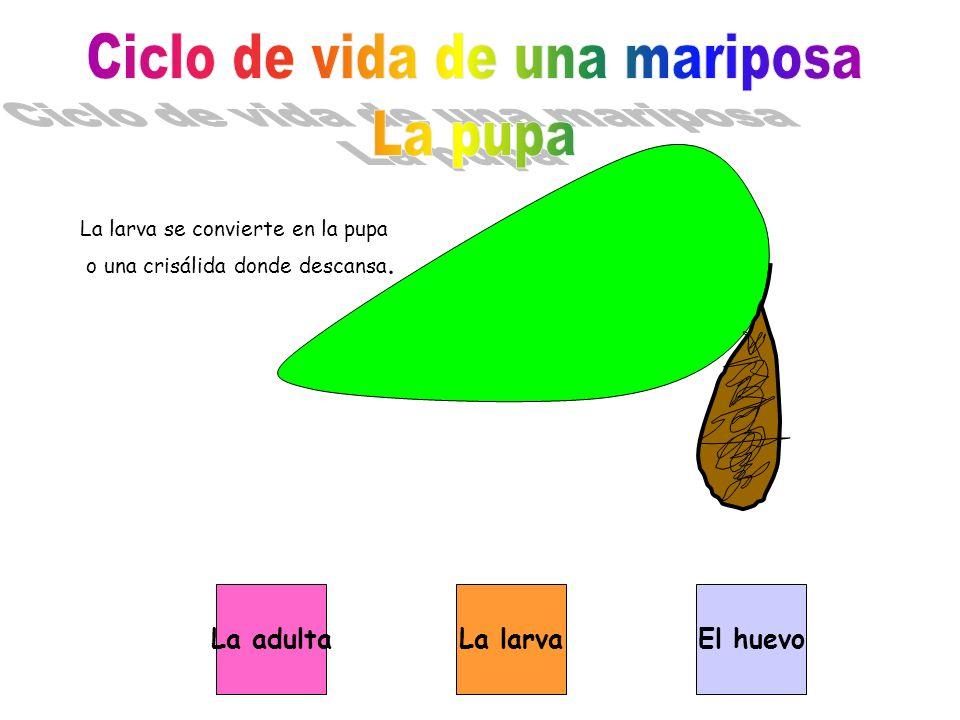 La larva se convierte en la pupa o una crisálida donde descansa. La adultaLa larvaEl huevo