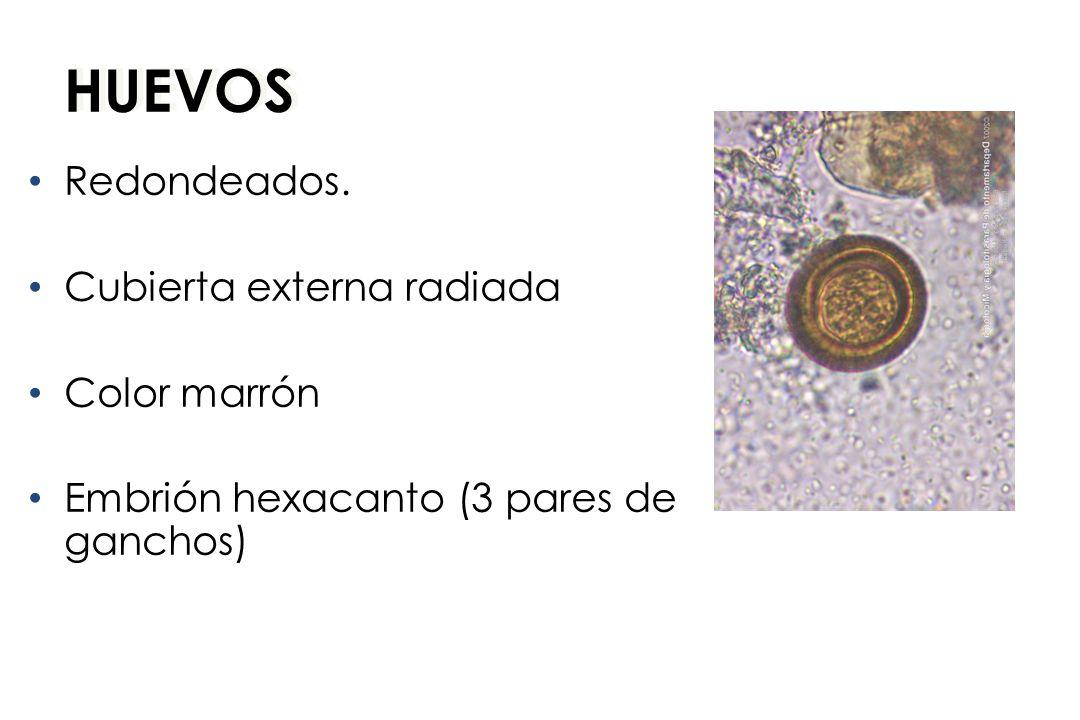 HUEVOS Redondeados. Cubierta externa radiada Color marrón Embrión hexacanto (3 pares de ganchos)