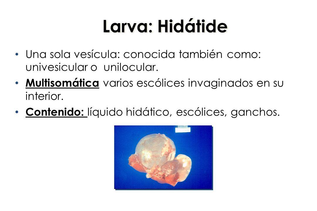 Larva: Hidátide Una sola vesícula: conocida también como: univesicular o unilocular. Multisomática varios escólices invaginados en su interior. Conten