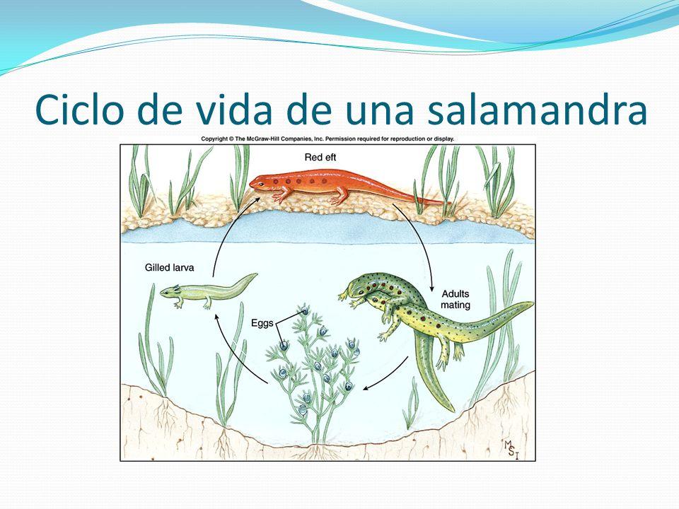 Ciclo de vida de una salamandra