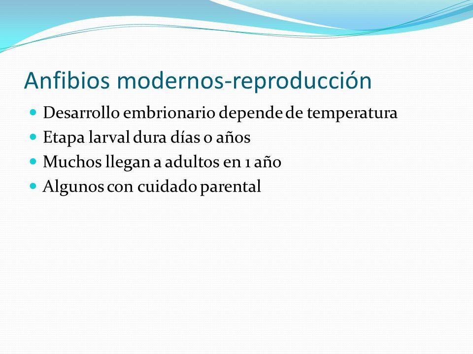 Anfibios modernos-reproducción Desarrollo embrionario depende de temperatura Etapa larval dura días o años Muchos llegan a adultos en 1 año Algunos co
