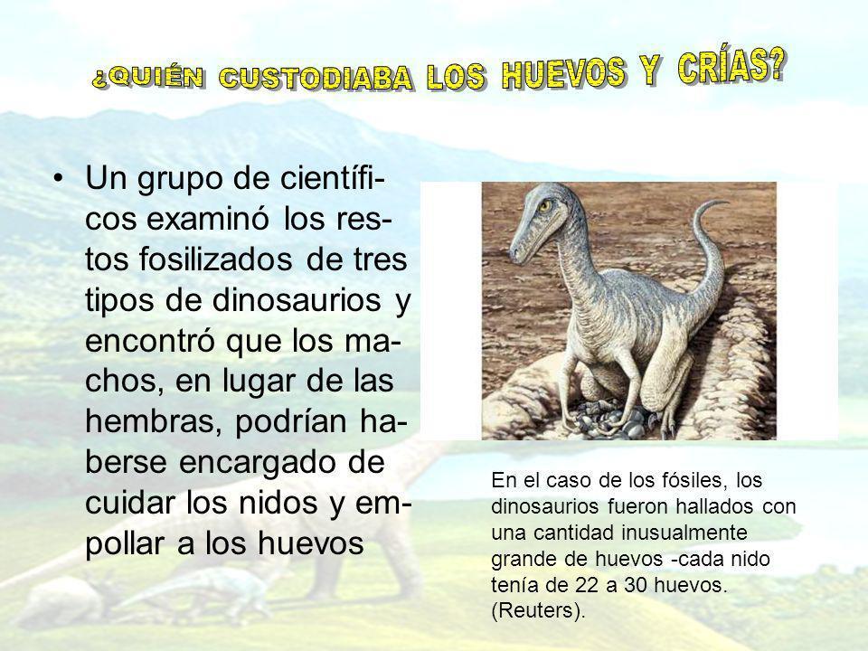 Un grupo de científi- cos examinó los res- tos fosilizados de tres tipos de dinosaurios y encontró que los ma- chos, en lugar de las hembras, podrían