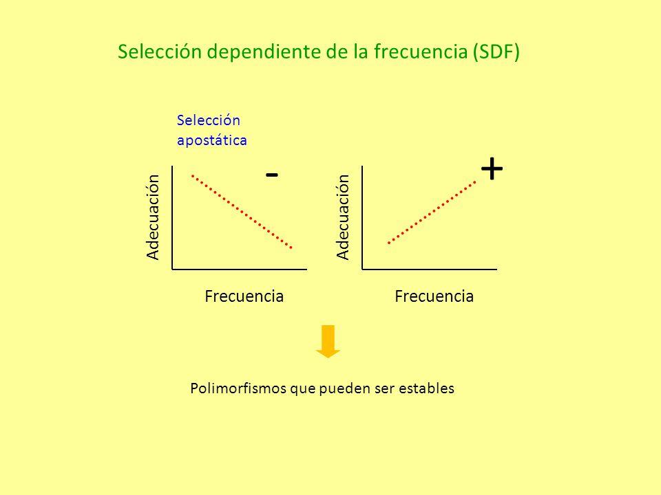 Frecuencia Adecuación Selección dependiente de la frecuencia (SDF) Frecuencia Adecuación - + Polimorfismos que pueden ser estables Selección apostática
