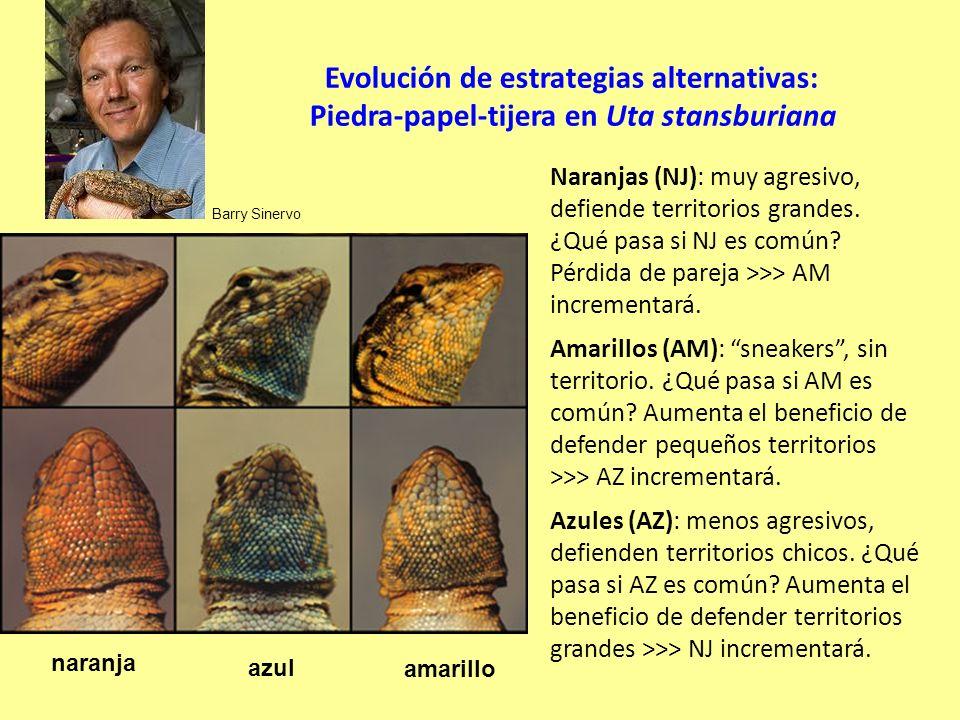 Evolución de estrategias alternativas: Piedra-papel-tijera en Uta stansburiana Naranjas (NJ): muy agresivo, defiende territorios grandes.