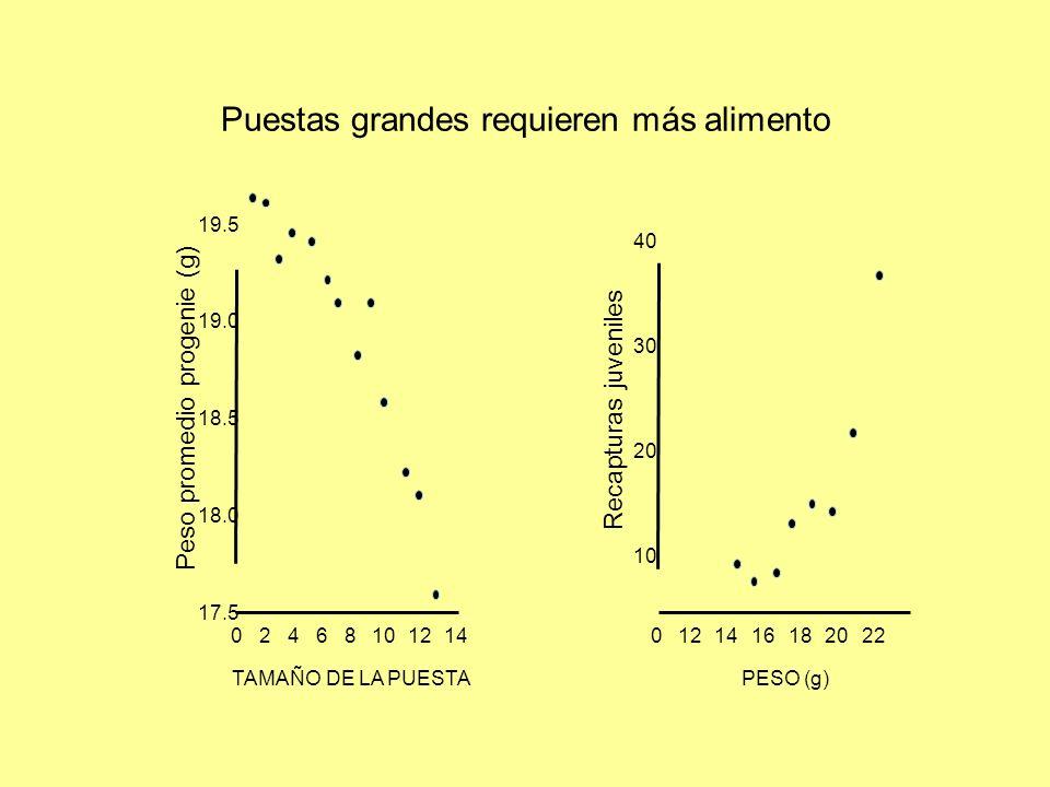 Puestas grandes requieren más alimento TAMAÑO DE LA PUESTA 0 Peso promedio progenie (g) 2468101214 19.5 19.0 18.5 18.0 17.5 0121416182022 PESO (g) Recapturas juveniles 40 10 20 30