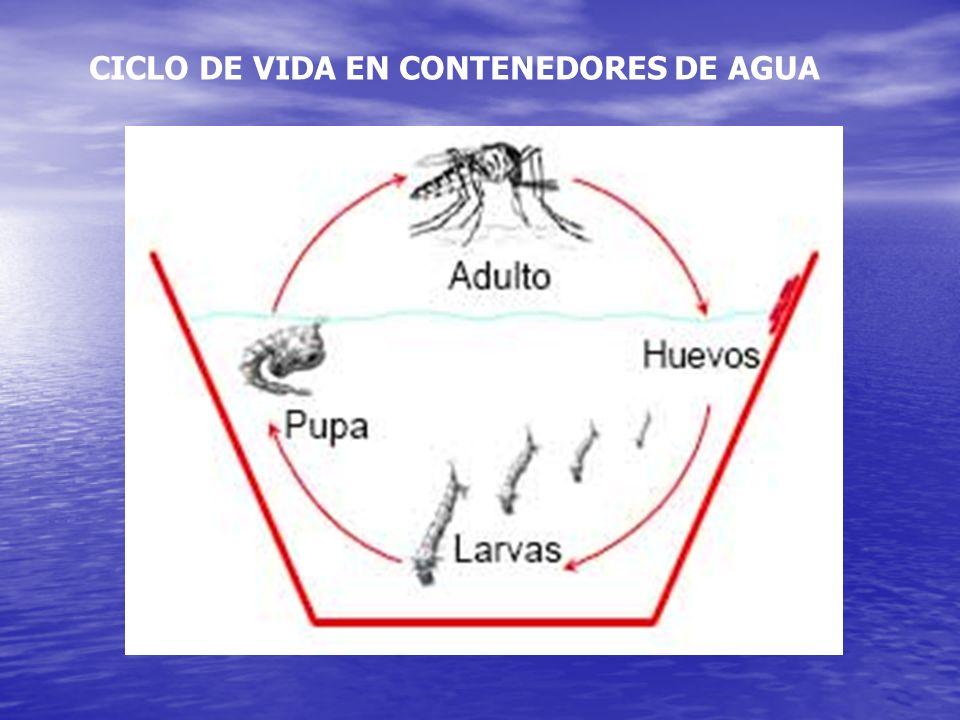 Aedes aegypti El dengue es transmitido por un mosquito hembra infectado Se alimenta, principalmente de sangre, durante el día. Pone sus huevos que lue