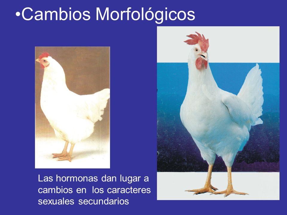 Cambios Morfológicos Las hormonas dan lugar a cambios en los caracteres sexuales secundarios
