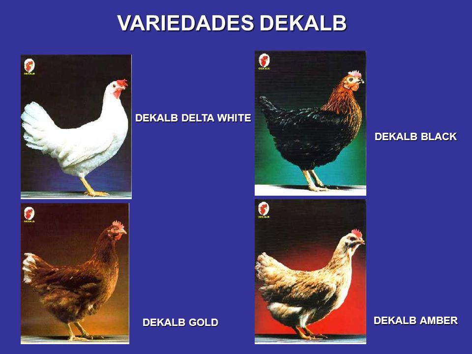 DEKALB DELTA WHITE DEKALB GOLD DEKALB AMBER DEKALB BLACK VARIEDADES DEKALB