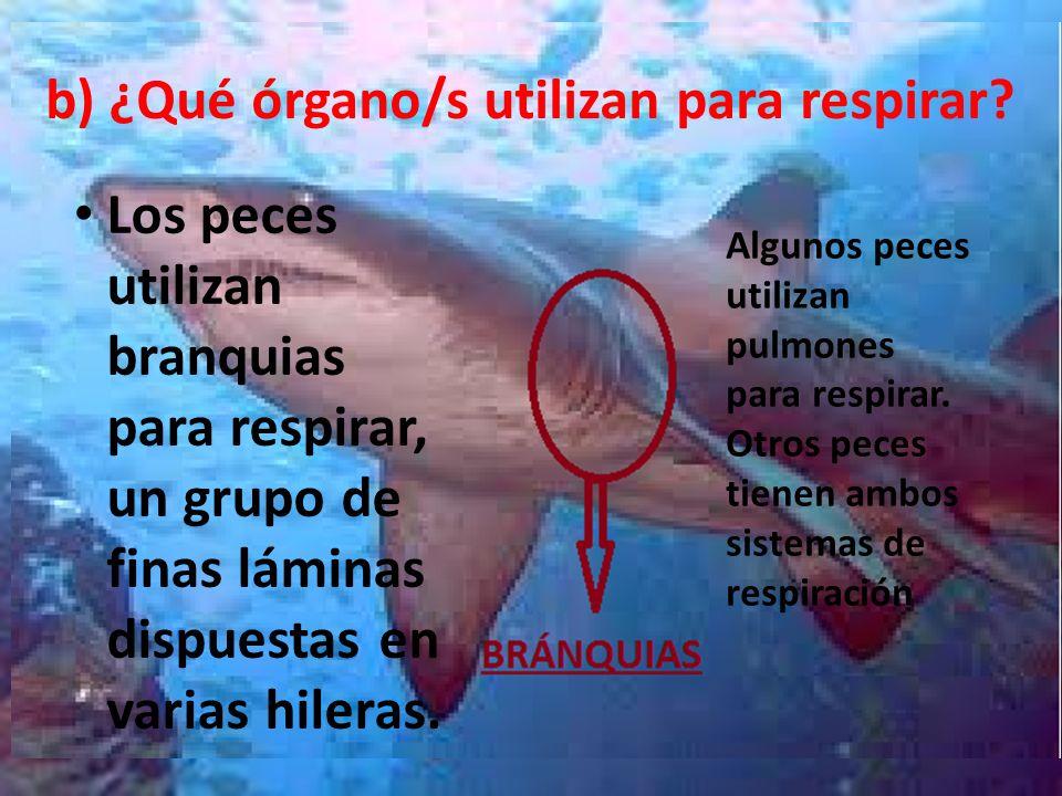 b) ¿Qué órgano/s utilizan para respirar? Los peces utilizan branquias para respirar, un grupo de finas láminas dispuestas en varias hileras. Algunos p