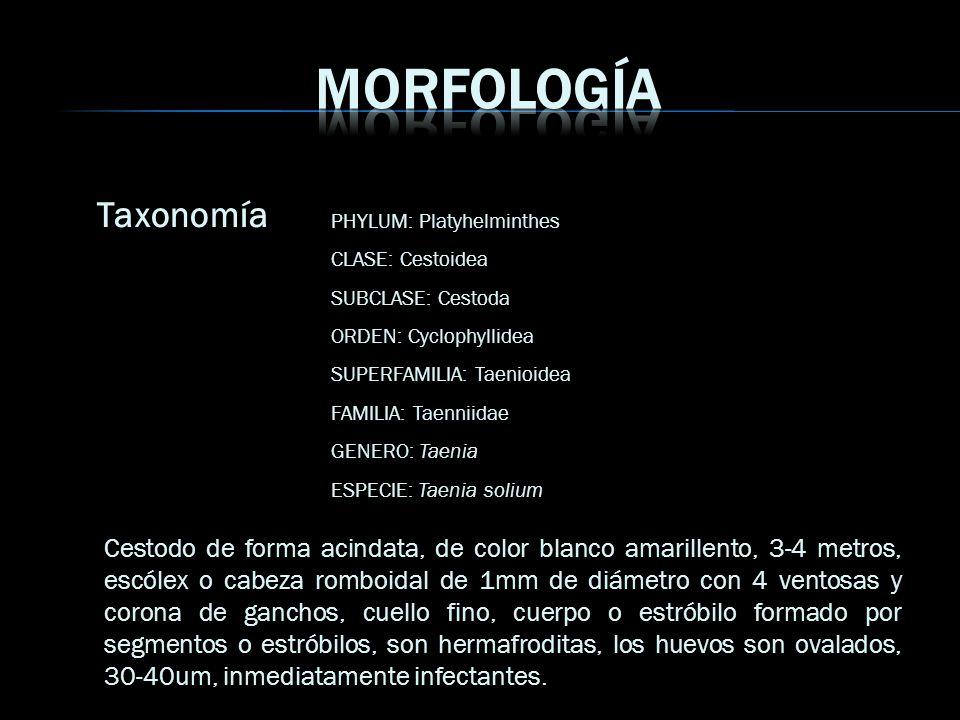Taxonomía PHYLUM: Platyhelminthes CLASE: Cestoidea SUBCLASE: Cestoda ORDEN: Cyclophyllidea SUPERFAMILIA: Taenioidea FAMILIA: Taenniidae GENERO: Taenia