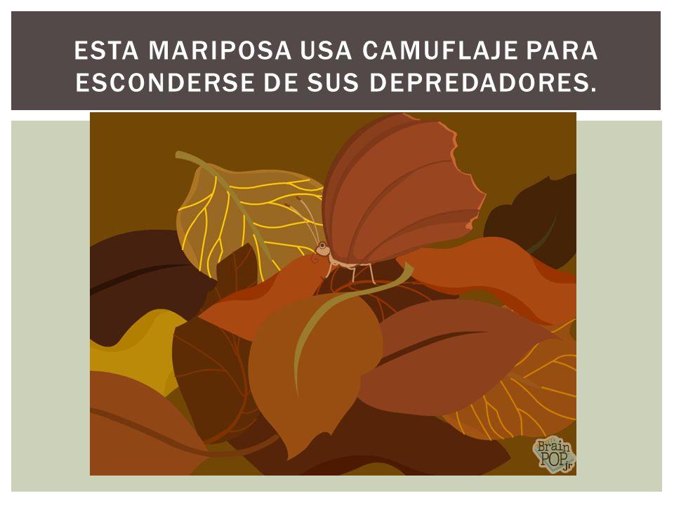 ESTA MARIPOSA USA CAMUFLAJE PARA ESCONDERSE DE SUS DEPREDADORES.
