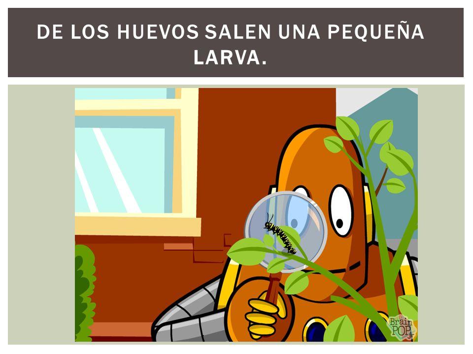 DE LOS HUEVOS SALEN UNA PEQUEÑA LARVA.