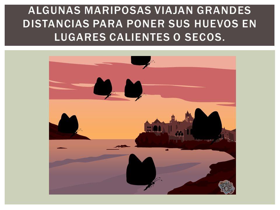 ALGUNAS MARIPOSAS VIAJAN GRANDES DISTANCIAS PARA PONER SUS HUEVOS EN LUGARES CALIENTES O SECOS.