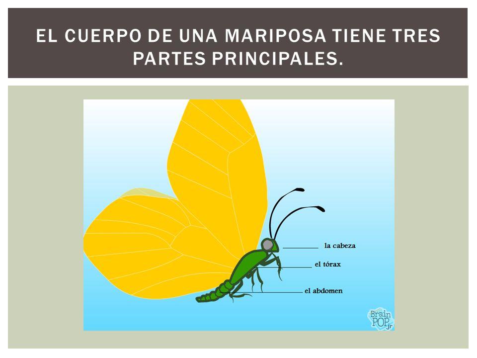 EL CUERPO DE UNA MARIPOSA TIENE TRES PARTES PRINCIPALES.