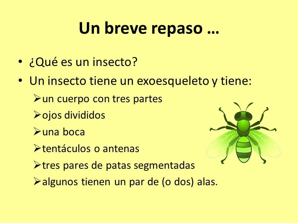 Un breve repaso … ¿Qué es un insecto? Un insecto tiene un exoesqueleto y tiene: un cuerpo con tres partes ojos divididos una boca tentáculos o antenas