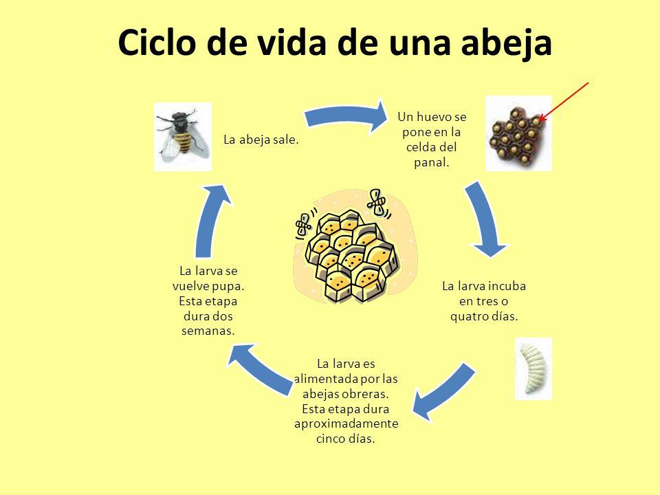 Ciclo de vida de una abeja Un huevo se pone en la celda del panal. La larva incuba en tres o quatro días. La larva es alimentada por las abejas obrera
