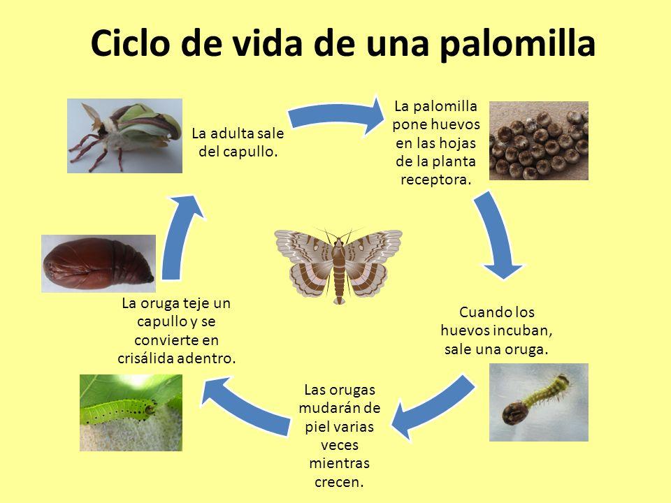 Ciclo de vida de una palomilla La palomilla pone huevos en las hojas de la planta receptora. Cuando los huevos incuban, sale una oruga. Las orugas mud