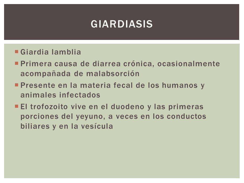 Giardia lamblia Primera causa de diarrea crónica, ocasionalmente acompañada de malabsorción Presente en la materia fecal de los humanos y animales inf