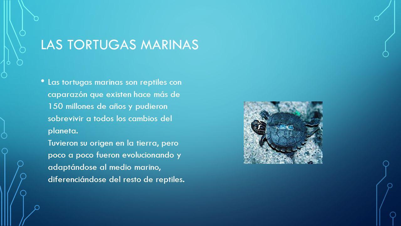LAS TORTUGAS MARINAS Las tortugas marinas son reptiles con caparazón que existen hace más de 150 millones de años y pudieron sobrevivir a todos los cambios del planeta.