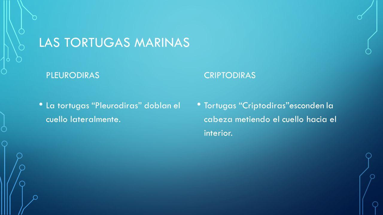 LAS TORTUGAS MARINAS PLEURODIRAS La tortugas Pleurodiras doblan el cuello lateralmente.