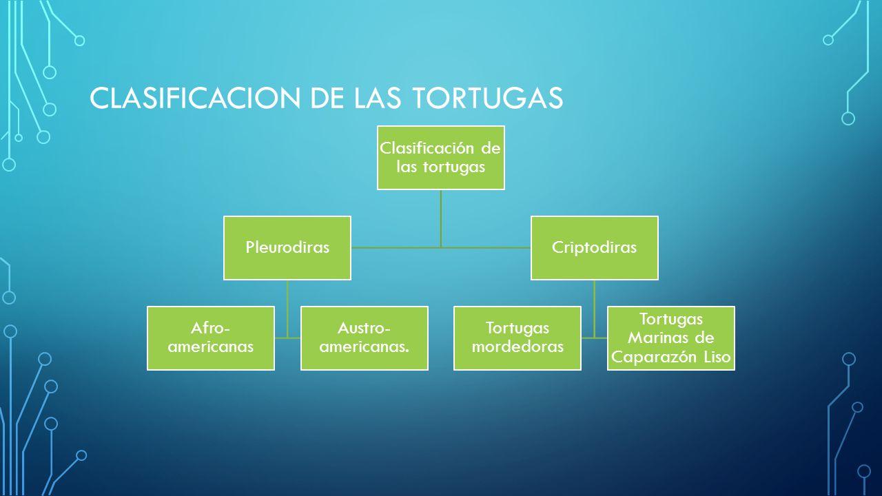 CLASIFICACION DE LAS TORTUGAS Clasificación de las tortugas Pleurodiras Afro- americanas Austro- americanas. Criptodiras Tortugas mordedoras Tortugas