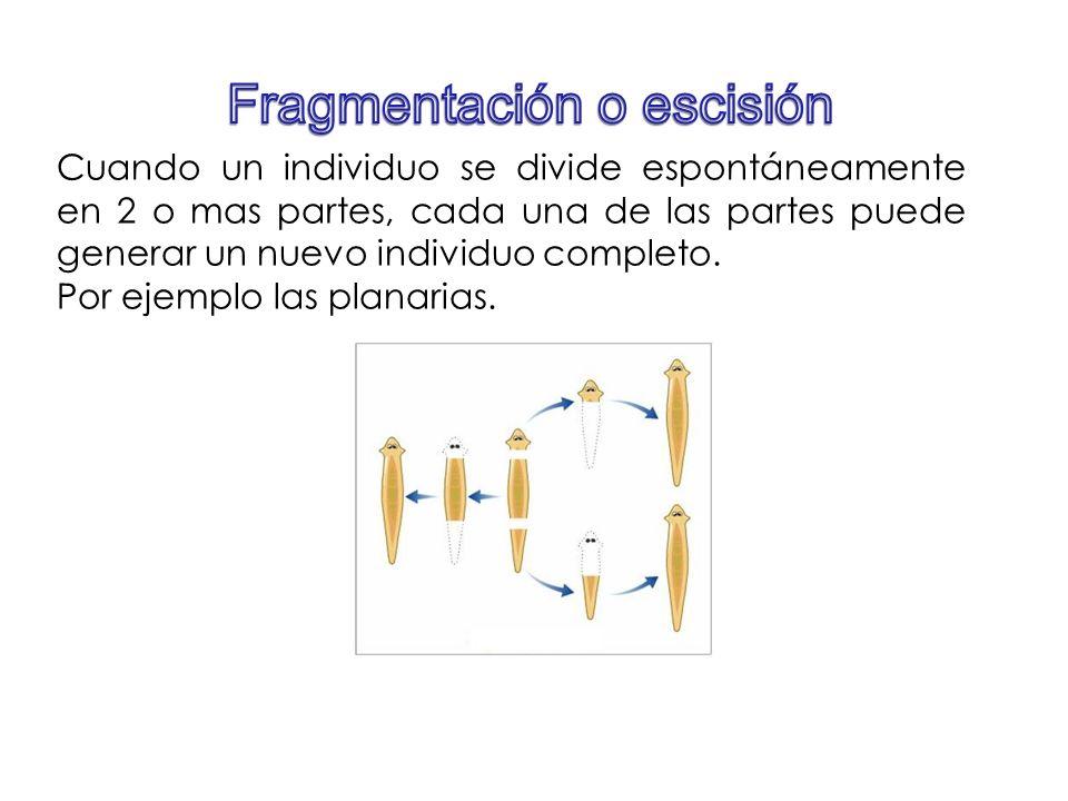 Cuando un individuo se divide espontáneamente en 2 o mas partes, cada una de las partes puede generar un nuevo individuo completo. Por ejemplo las pla