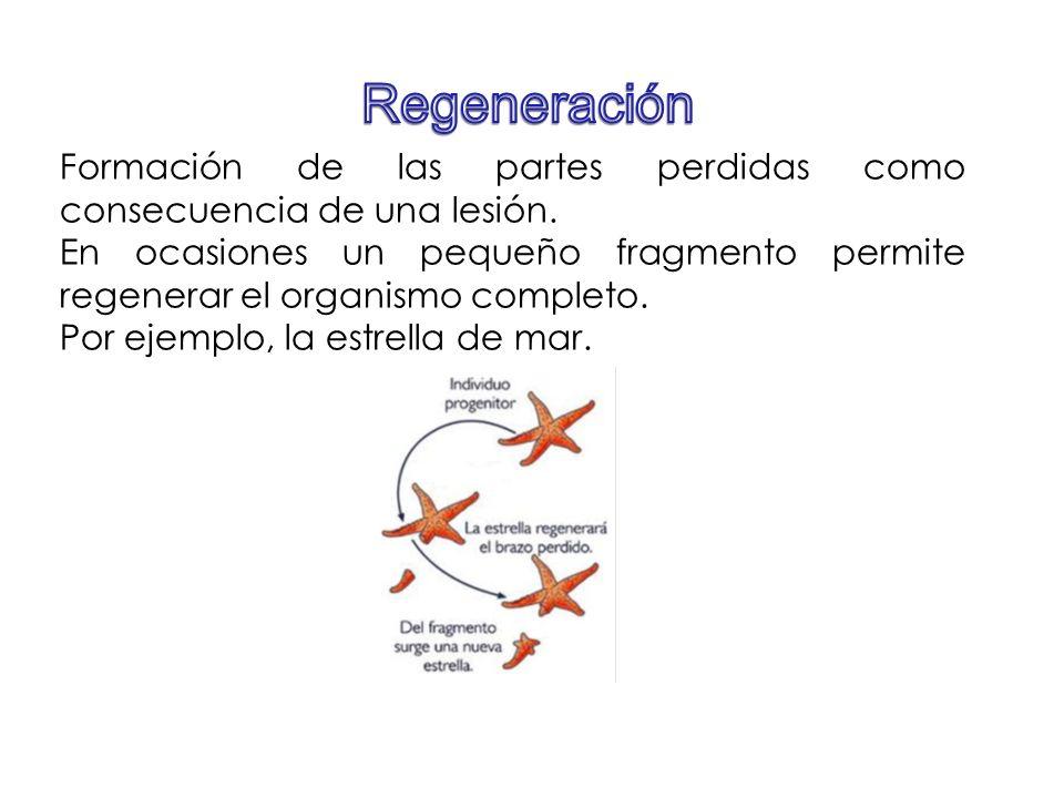 Formación de las partes perdidas como consecuencia de una lesión. En ocasiones un pequeño fragmento permite regenerar el organismo completo. Por ejemp