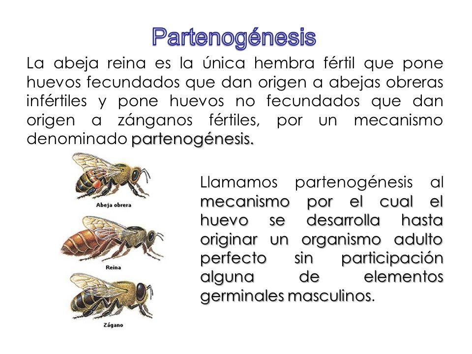 partenogénesis. La abeja reina es la única hembra fértil que pone huevos fecundados que dan origen a abejas obreras infértiles y pone huevos no fecund