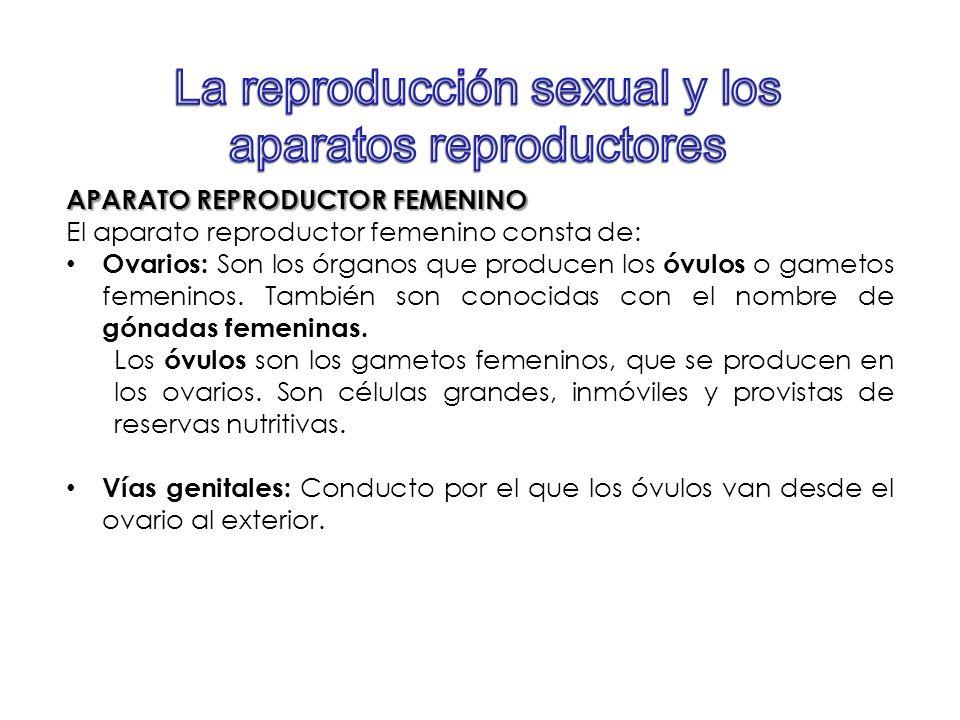 APARATO REPRODUCTOR FEMENINO El aparato reproductor femenino consta de: Ovarios: Son los órganos que producen los óvulos o gametos femeninos. También