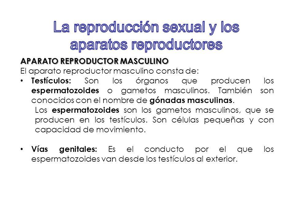 APARATO REPRODUCTOR MASCULINO El aparato reproductor masculino consta de: Testículos: Son los órganos que producen los espermatozoides o gametos mascu
