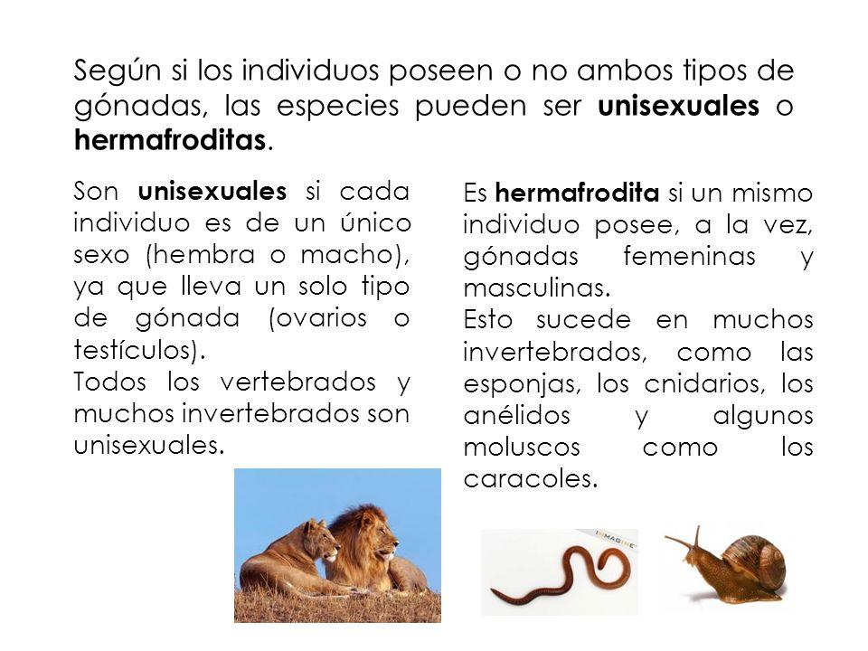 Según si los individuos poseen o no ambos tipos de gónadas, las especies pueden ser unisexuales o hermafroditas. Son unisexuales si cada individuo es