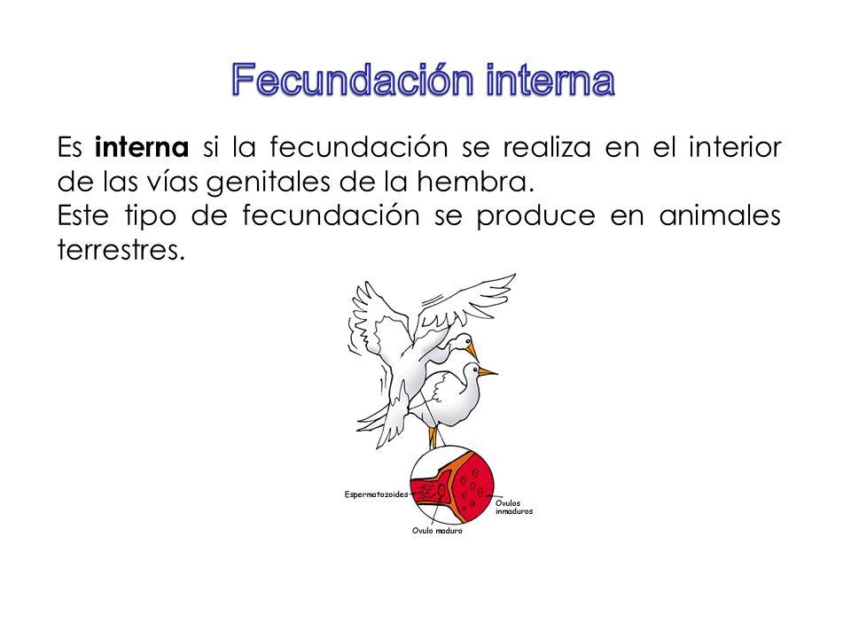 Es interna si la fecundación se realiza en el interior de las vías genitales de la hembra. Este tipo de fecundación se produce en animales terrestres.