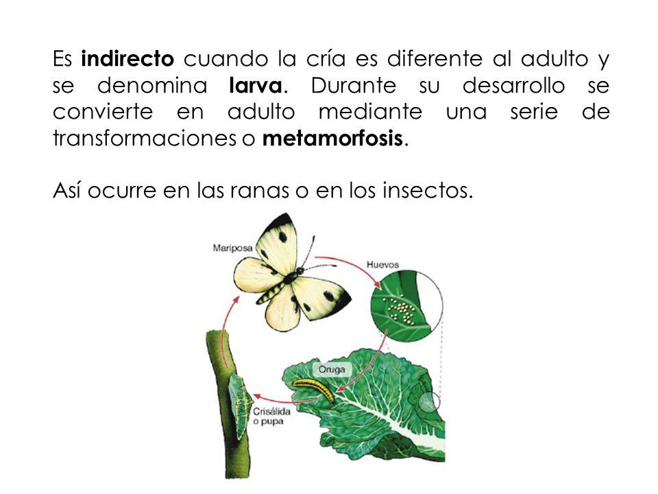Es indirecto cuando la cría es diferente al adulto y se denomina larva. Durante su desarrollo se convierte en adulto mediante una serie de transformac
